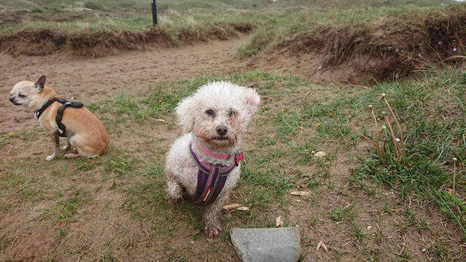 REHOMED Rosemary - 6-year old Bichon Frise - Friends of